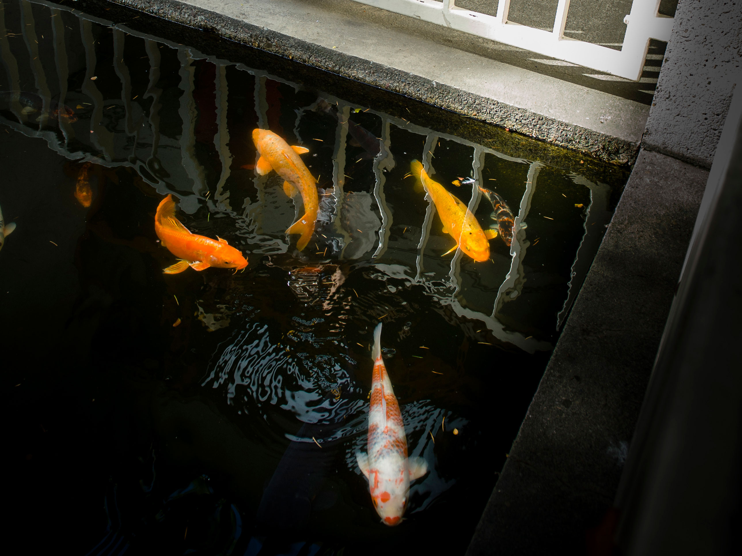 Koi fish in the reflecting pool at OMCA in Oakland