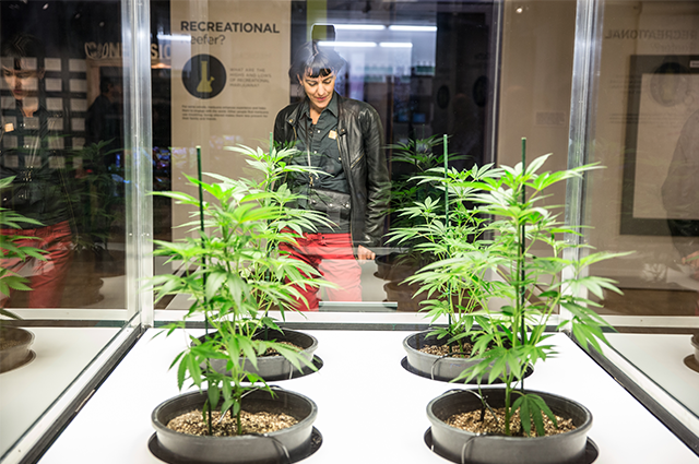 Woman reads about some of the marijuana on display at the Altered State exhibit.