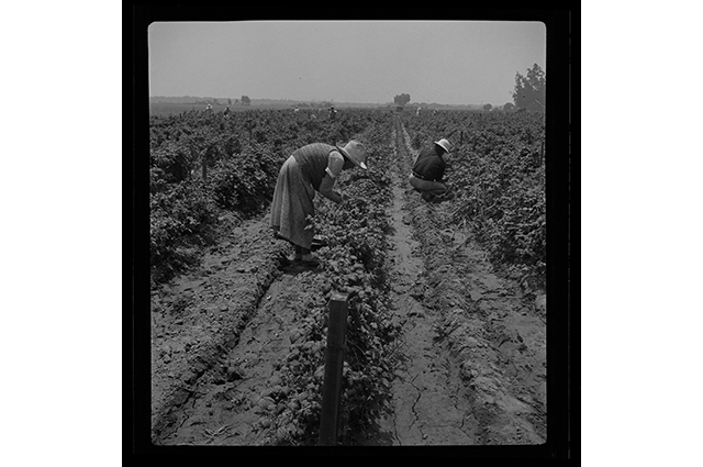 Farmworker stooped over in a field
