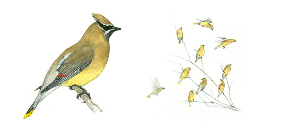 Drawing of a yellow Cedar Waxwing bird on the left with a drawing of a group of the same birds in a tree on the right