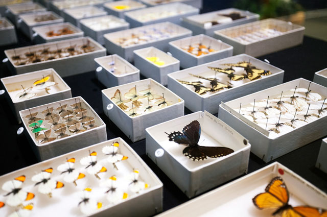 Butterfly specimens on view in Metamorphosis and Migration: Days of the Dead at Oakland Museum of California 2017