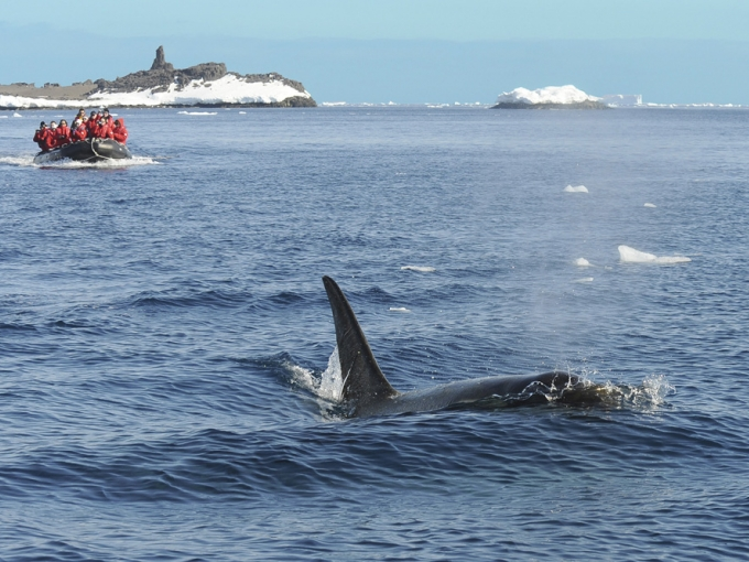 Naturalist-led Zodiac excursions offer spectacular opportunities to observe orcas and other whales surfacing in the Antarctic waters. Photo courtesy of Gohagan Travel.