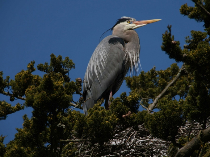 Great Blue Herons, Stow Lake. San Francisco Nature Education, 2009. Photo courtesy of Monte Travis.