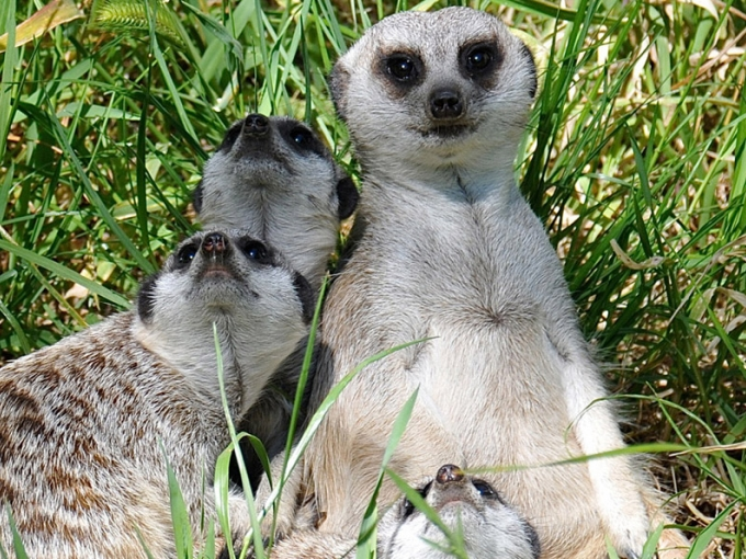 Meerkats at the Oakland Zoo. Photo: Vicki Gutgesell.