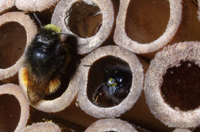 Mason bee hotel by flickr user Max Westby. http://www.flickr.com/photos/max_westby/6999347478/