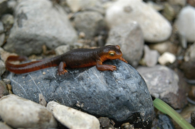 California Newt (Taricha torosa) Photo by jkirkhart35. Creative Commons Attribution 2.0 Generic.