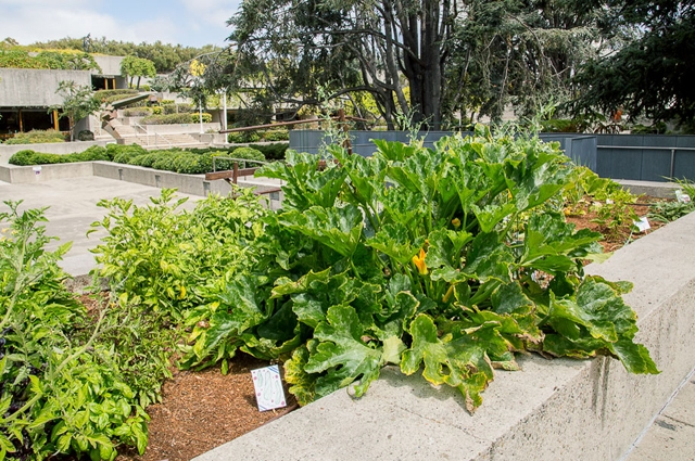 Vegetables growing in the Oakland Museum of California Gardens, a popular outdoor activity spot.