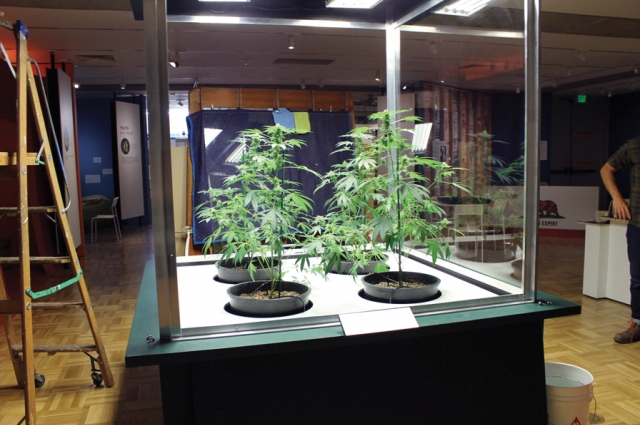 Cannabis plants on loan from Dark Heart Nursery during a maintenance day in the exhibition Altered State: Marijuana in California