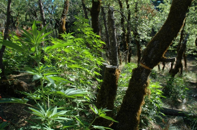 Trees damaged to make room for light to hit marijuana plants in a California national forest. Credit: USFS