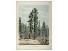 W.H. McFarlane, Sequoia Wellingtonia. The Two Guardsmen, circa 1860. Hand-colored lithograph. Collection OMCA, Gift of the J. B. and Emily Van Nuys Charities