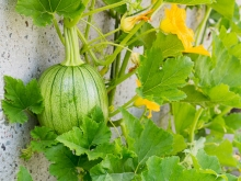 Young pumpkins and vines growing in the Oakland Museum of California Gardens